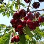 вишневая муха борьба