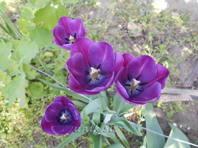 подкормить тюльпаны