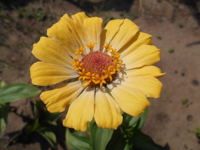 выращивать цинния