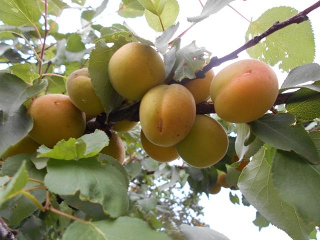 абрикос польза