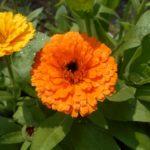 ноготки из семян вырастить