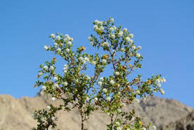 ларрея долгожитель растение