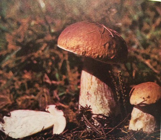 белый гриб и желчный гриб