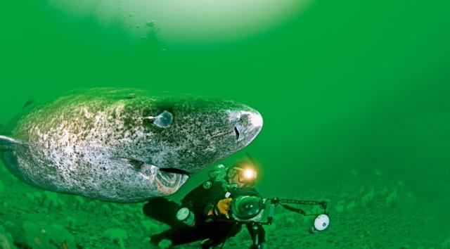 гренландская акула животное долгожитель