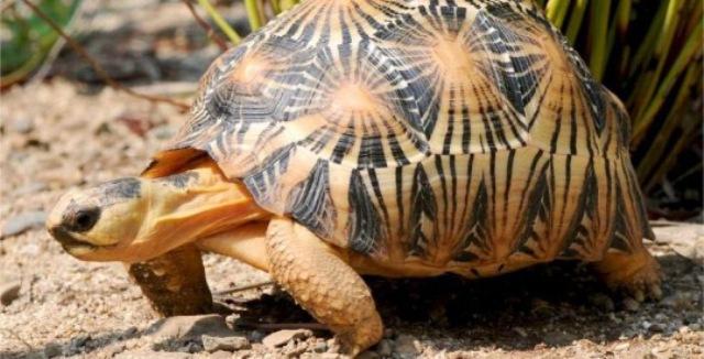лучистая черепаха сколько живет