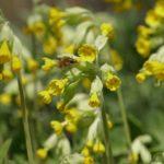 первоцвет весенний лечебные свойства