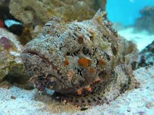 опасное блюдо рыба-камень