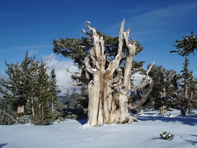 сосна остистая межгорная дерево долгожитель