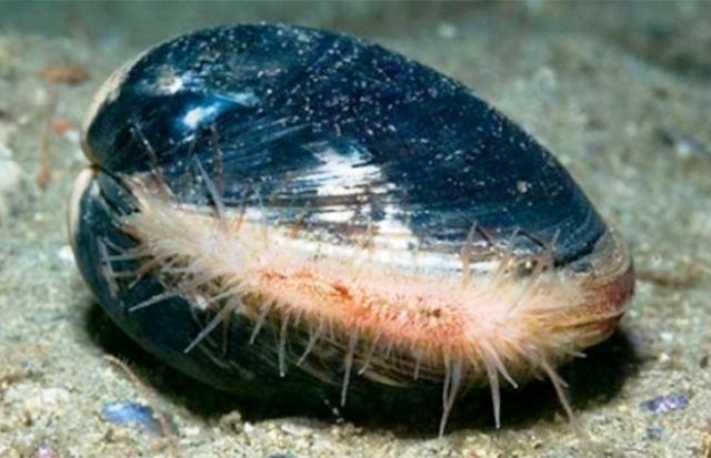 моллюски долгожители