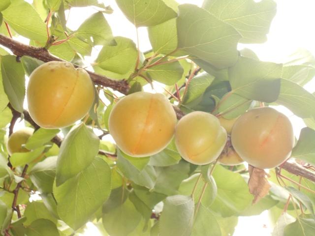 абрикосовый компот польза