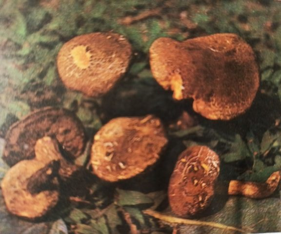 моховик трещиноватый фото