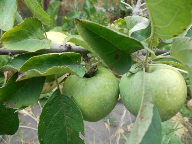 яблочный компот польза