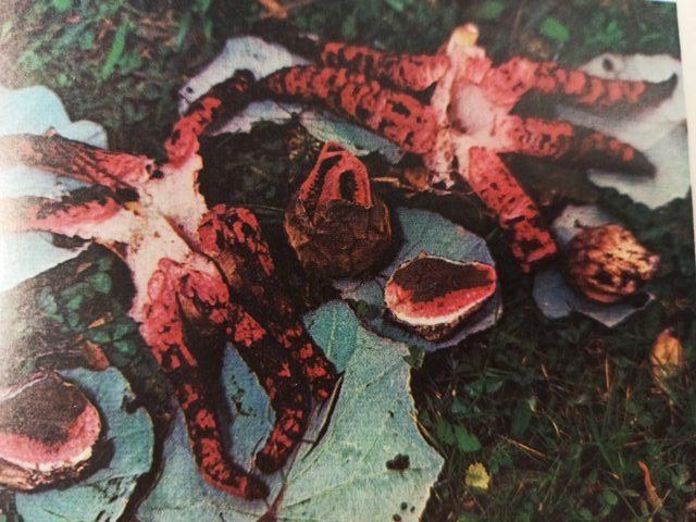 краснокнижный гриб цветохвостник Архера