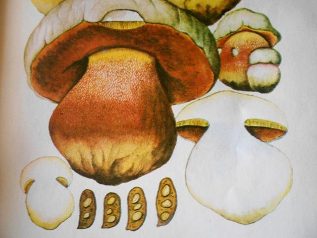 сатанинский гриб ядовитый