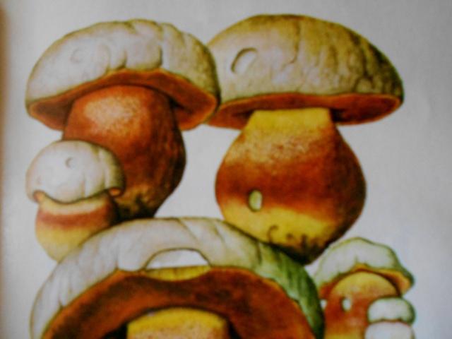 сатанинский гриб описание