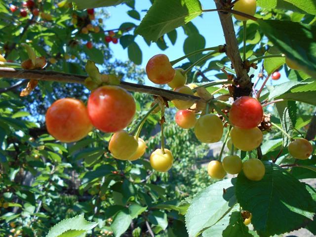 вишневый компот польза