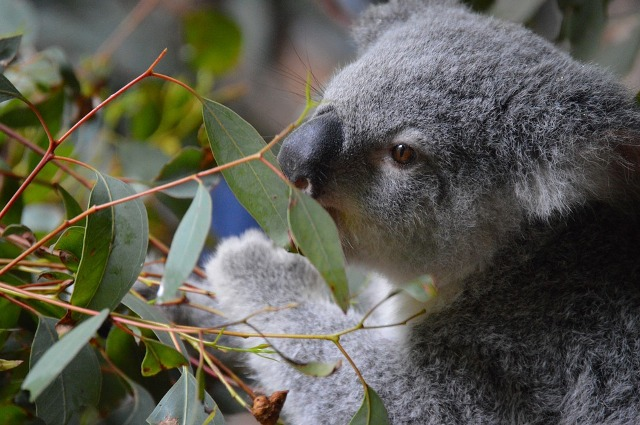 что ест коала