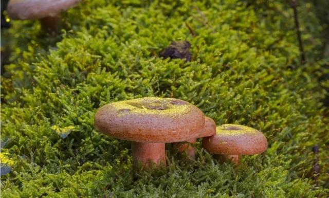 рыжик гриб