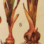 болезни гладиолусов фото
