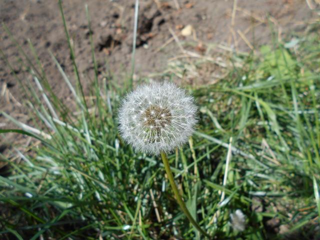 трава одуванчик лечебные свойства