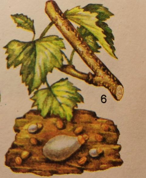 ивовая щитовка на смородине