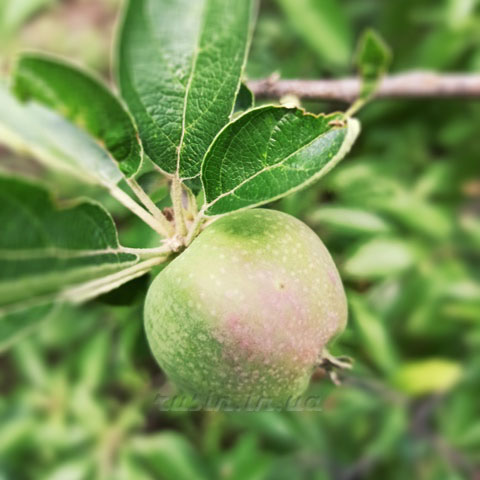 плодовая гниль яблони и груши