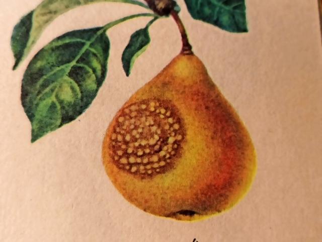 болезни яблони плодовая гниль