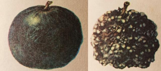 плодовая гниль яблони лечение