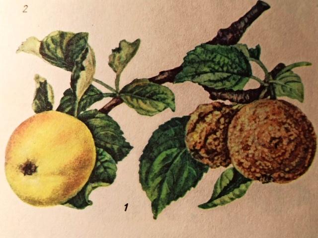 плодовая гниль яблони меры борьбы