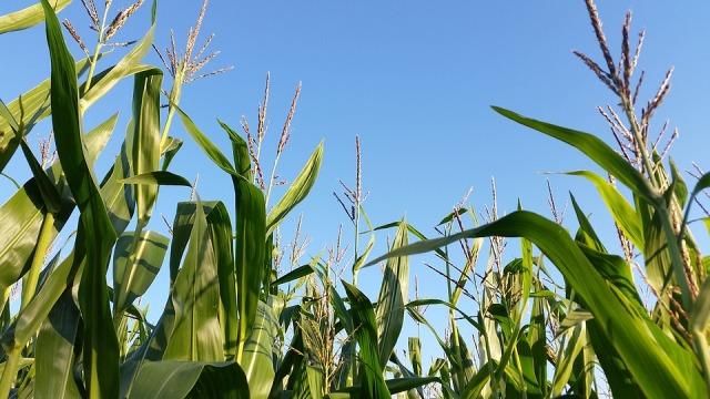 кукуруза лечебные свойства и применение