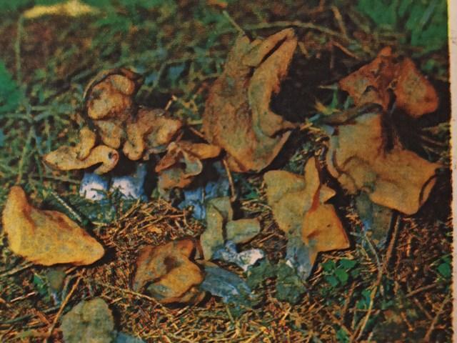 гриб лопастник курчавый