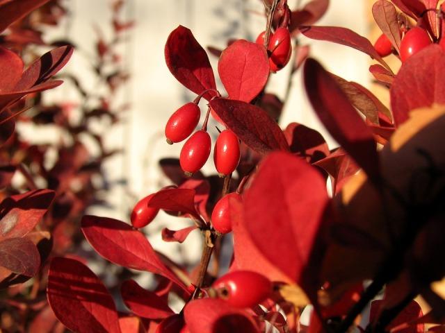 растение барбарис лечебные свойства