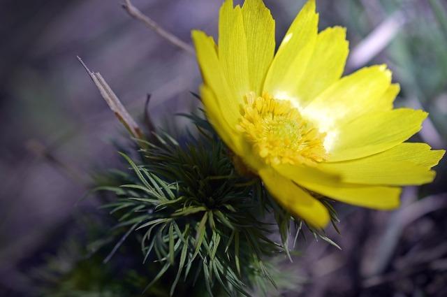 адонис весенний лечебные свойства