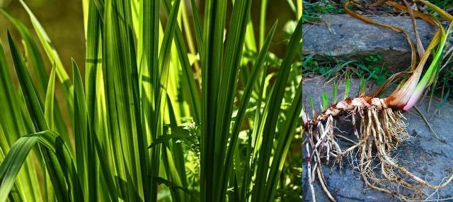 корень аира болотного лечебные свойства