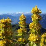 горечавка желтая лечебные свойства