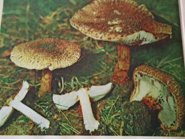 гриб лепиота фото