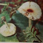 лепиота гриб фото