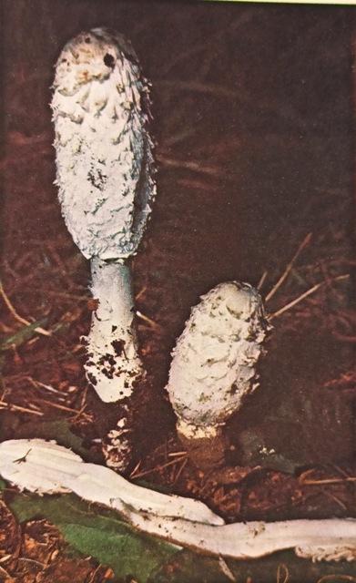 описание гриба навозник