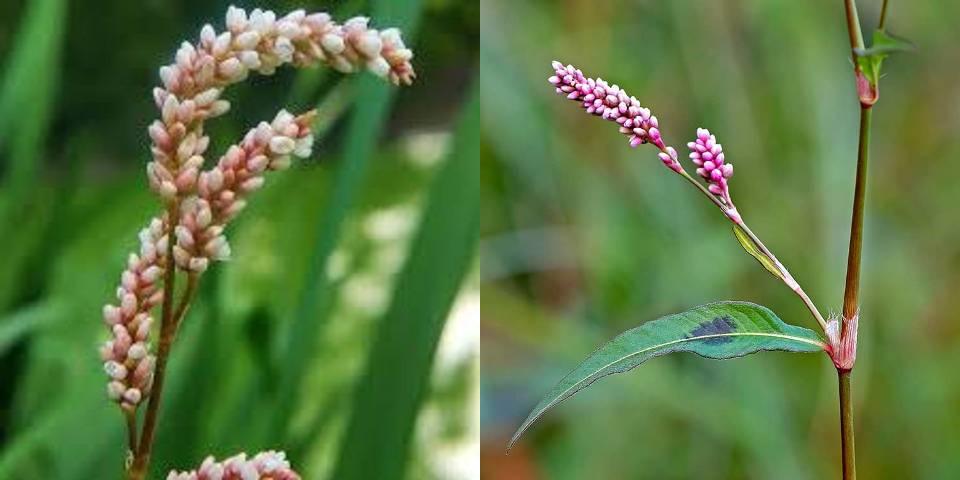 геморройная трава лечебные свойства