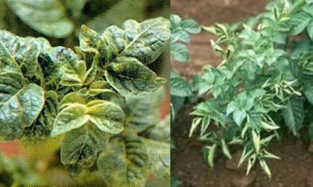 вирусные заболевания картофеля
