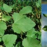 Дурнишник обыкновенный и колючий: фото, описание и лечебные свойства