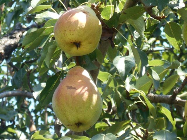 Грушевая плодожорка: меры борьбы