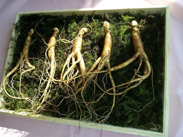 Лечебные свойства женьшеня, фото и описание растения