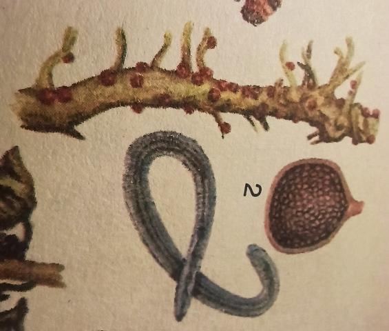 Признаки картофельной нематоды и борьба с паразитом