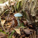 Строфария сине-зеленая: фото и описание