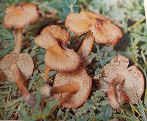 волоконница ядовитый гриб фото