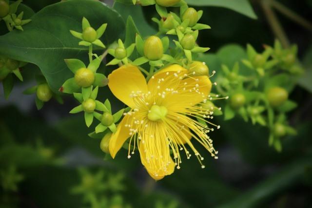 Лечебные свойства растения зверобой
