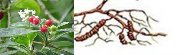 Корень ипекакуаны: фото, описание и лечебные свойства