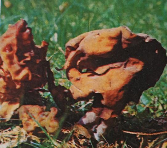 Описание грибов строчков