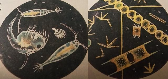 Планктон, что это такое, рассказ для детей